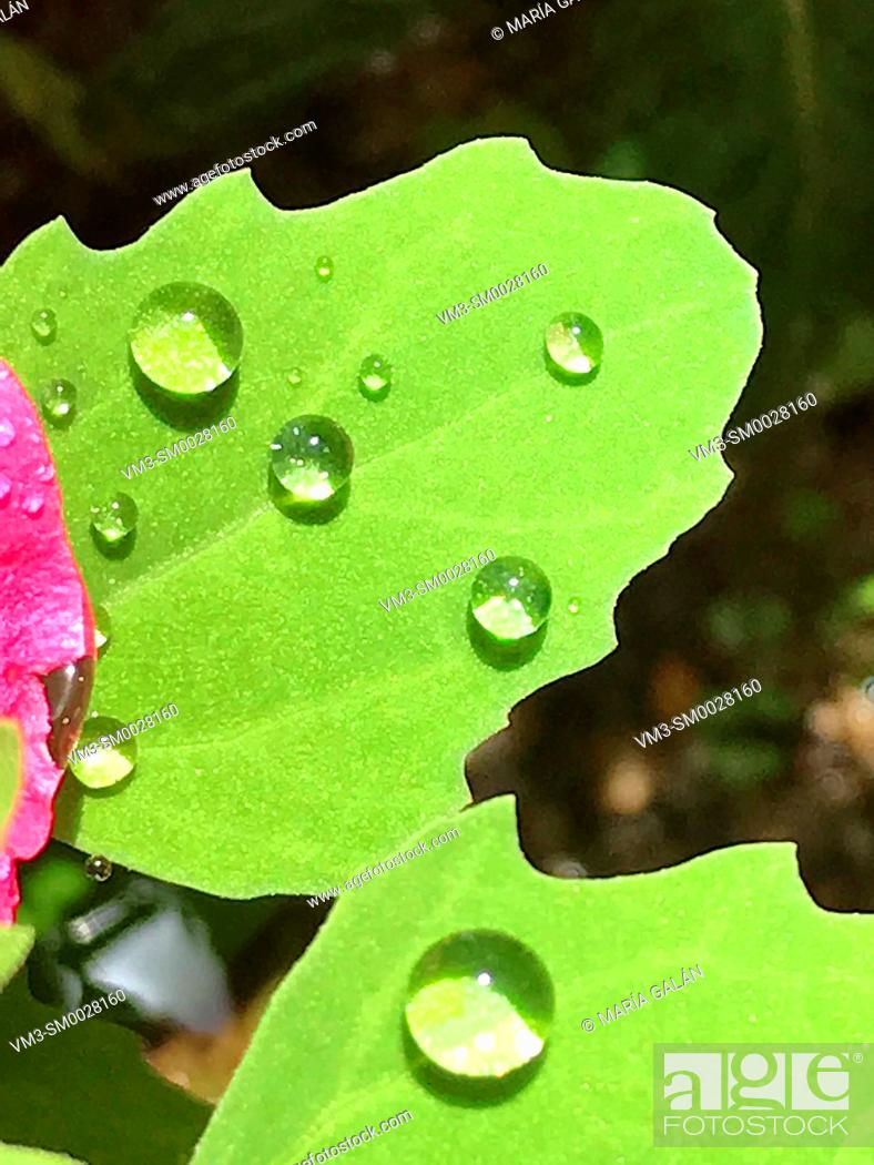 Stock Photo: Drops of water on green leaves.