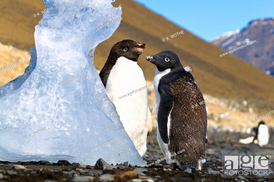 Stock Photo: adelie penguin (Pygoscelis adeliae), two young Adelie Penguins moulting, Antarctica, Devil Island.