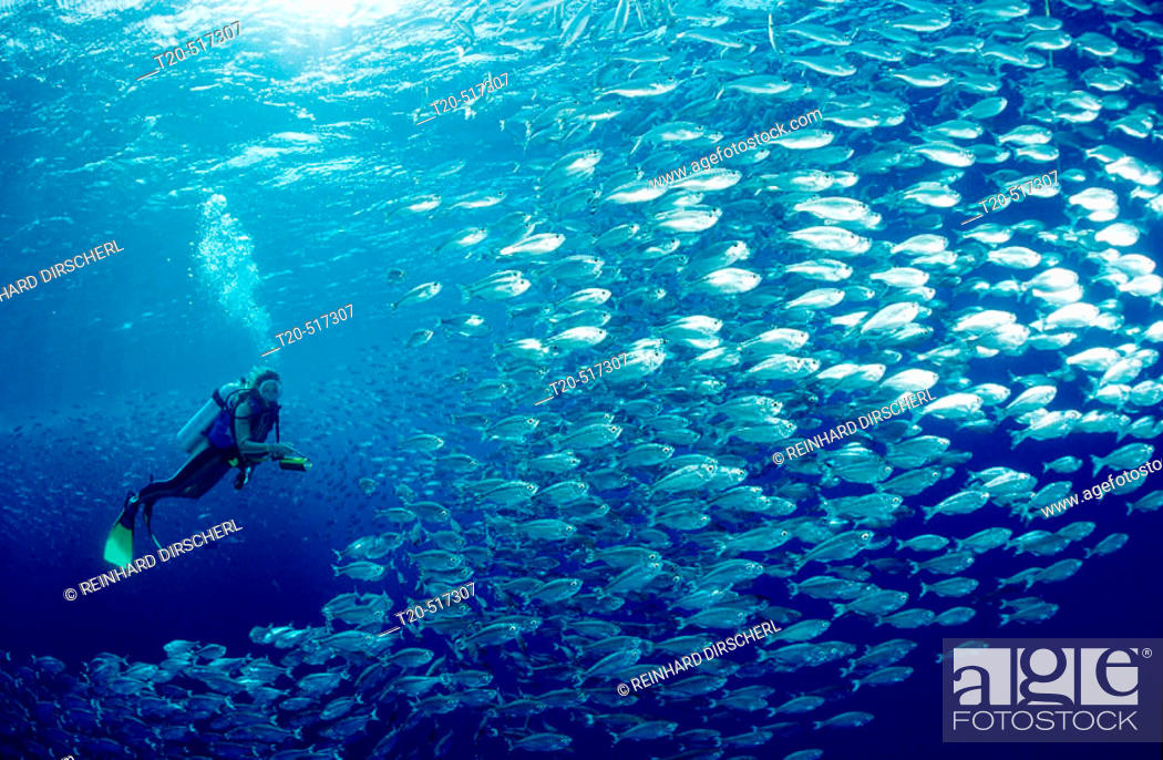 Stock Photo: Shoal of fishes, schooling fishes and scuba diver. Red Sea, Brother Islands, Brothers, El Akhawein. Egypt.