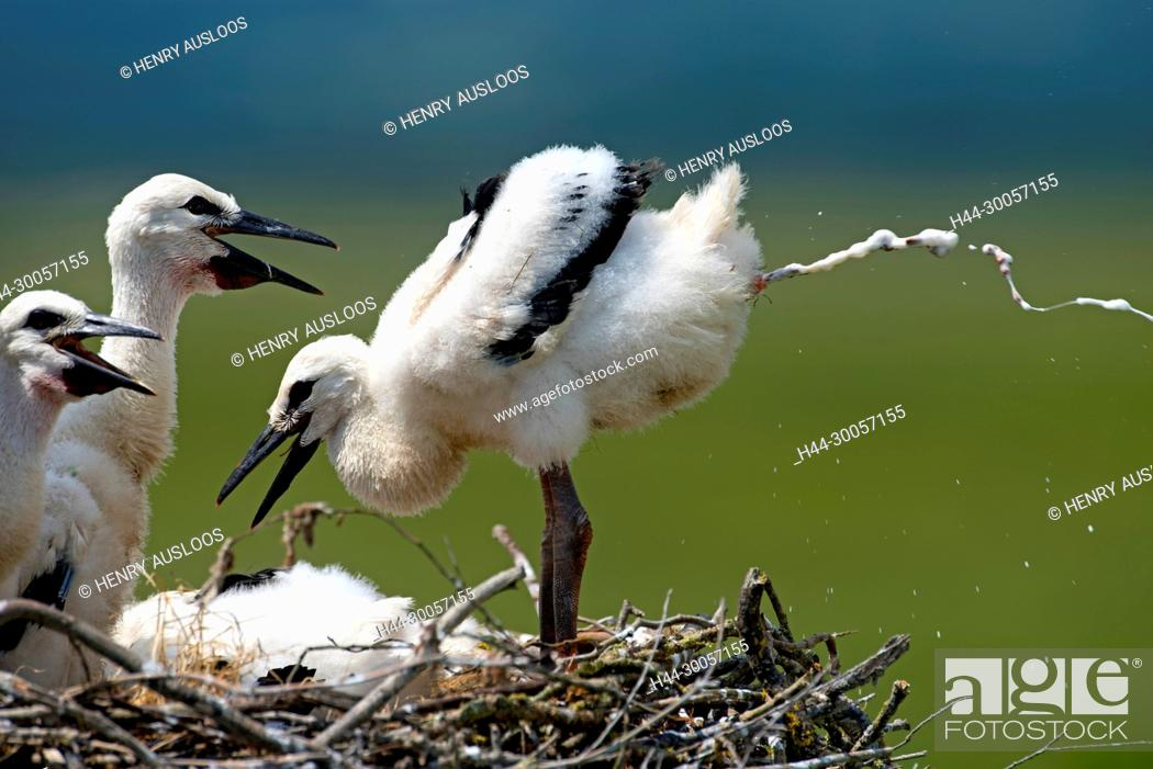 Stock Photo: White stork, young, Excretion of excrements (Ciconia ciconia), France.
