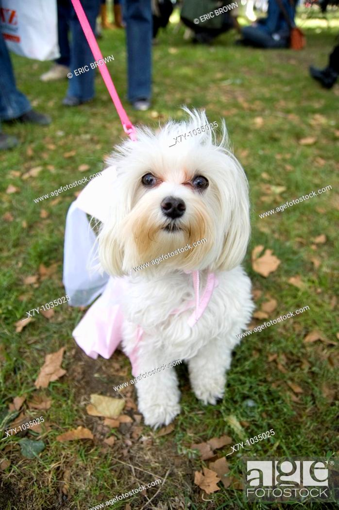 Stock Photo: A white dog dressed like a princess in a park on a leash.