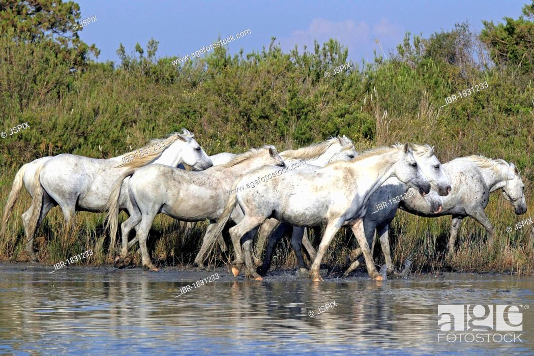Photo de stock: Camargue horses (Equus caballus), herd in water, Saintes-Marie-de-la-Mer, Camargue, France, Europe.