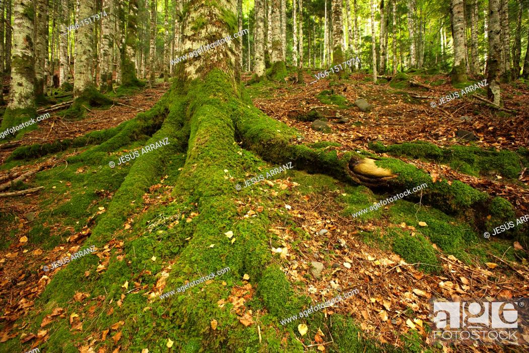 Stock Photo: Beech and pine trees in the ravine Bitetos, in French Pyrenees.