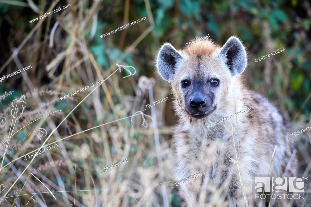 Stock Photo: Spotted hyaena (Crocutta crocutta) in high grass. Moremi National Park; Okavango delta; Botswana; Southern Africa.