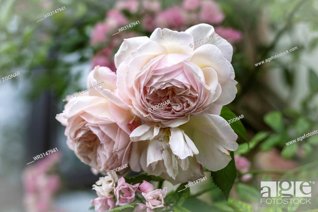 Stock Photo: Blossoming climbing roses, June.