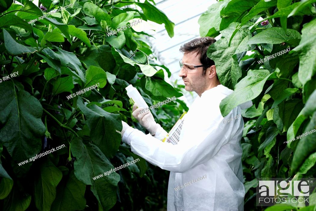Stock Photo: Germany, Bavaria, Munich, Scientist in greenhouse examining aubergine plants.
