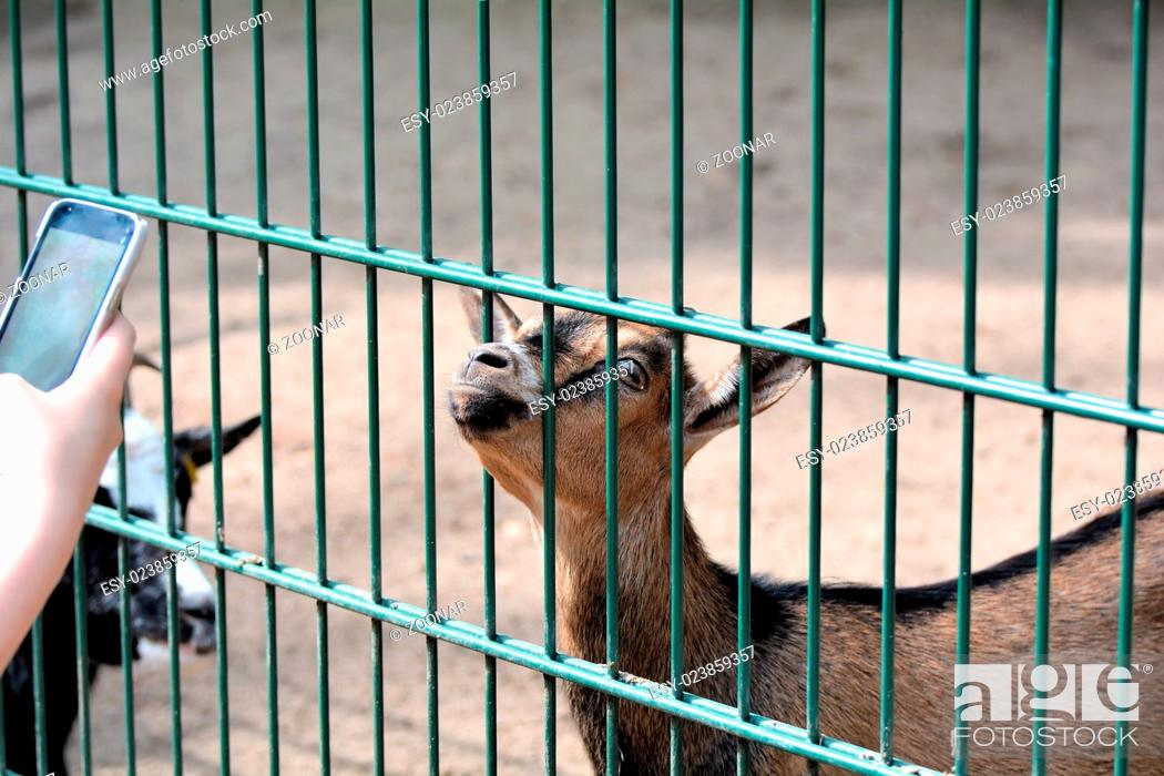 Stock Photo: a goat in a zoo is photographed with a cell phone.