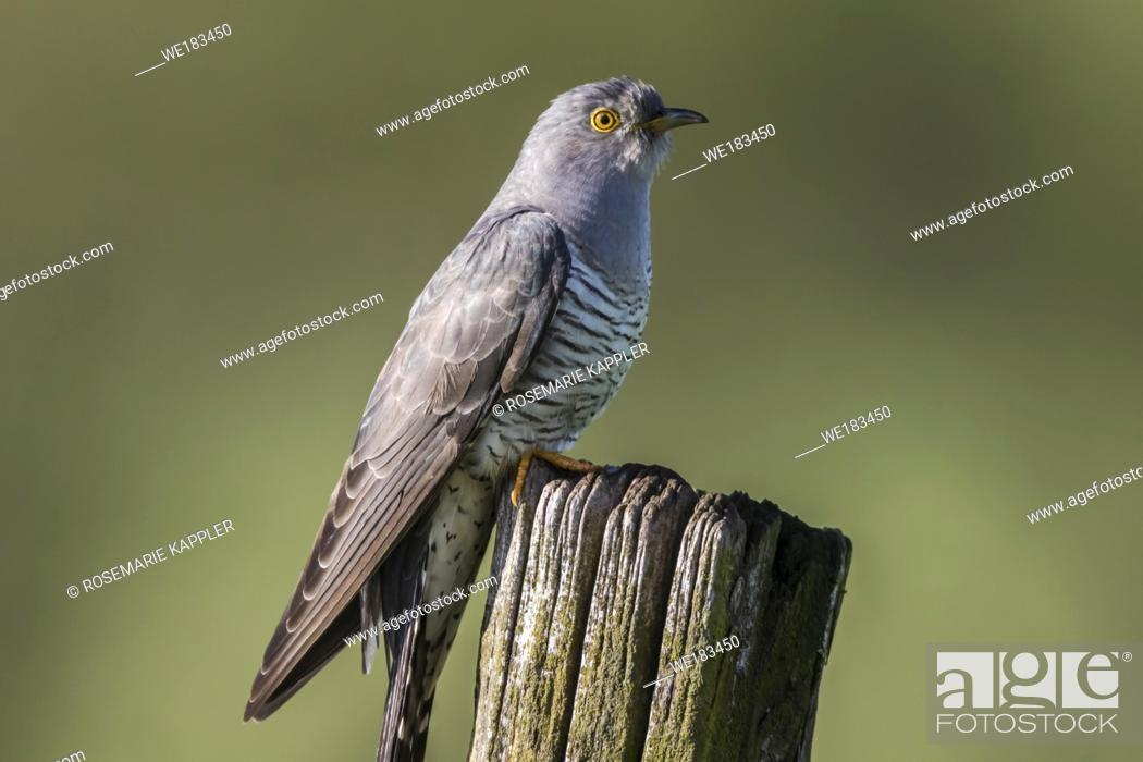 Stock Photo: A common cuckoo is sitting on a post.