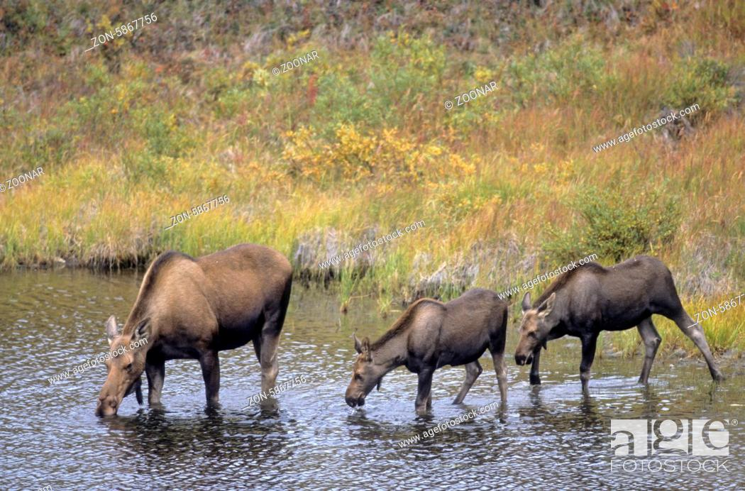 Stock Photo: Elchkuh und Kaelber trinken Wasser in einem Tundrasee - (Alaska-Elch) / Cow Moose and calfs drinking water in a tundra lake - (Alaska Moose) / Alces alces -.