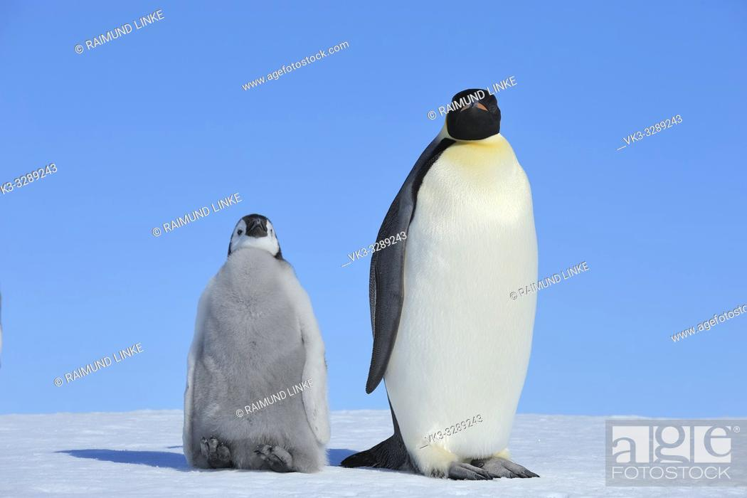 Photo de stock: Emperor penguins, Aptenodytes forsteri, with a Chick, Snow Hill Island, Antartic Peninsula, Antarctica.