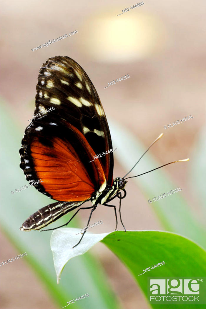 Stock Photo: Hecales Longwing (Heliconius hecale) on leaf.