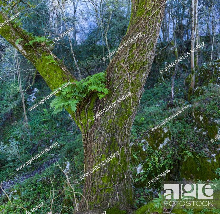 Imagen: Sinkhole and oak forest in Liendo, Valle de Liendo, Cantabria, Spain, Europe.