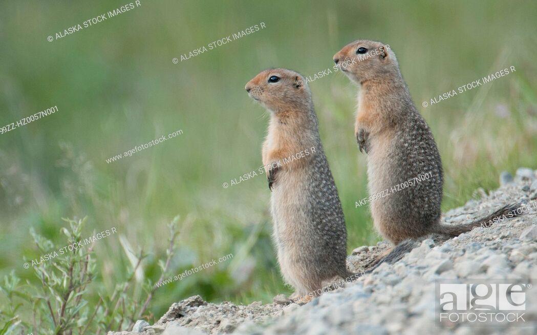 Stock Photo: Two Parka Squirrels stand alert for danger in Denali National Park & Preserve, Interior Alaska, Summer.