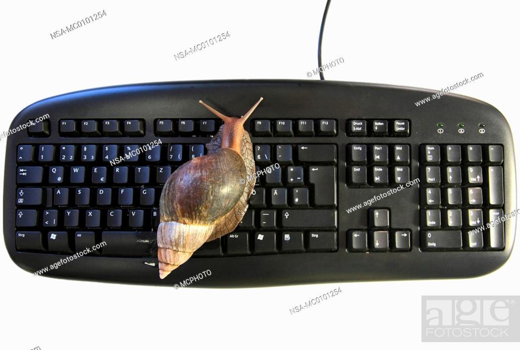 Stock Photo: Helix aspersa, Cornu aspersum, Cryptomphalus aspersus, brown garden snail, brown gardensnail, common garden snail, European brown snail.