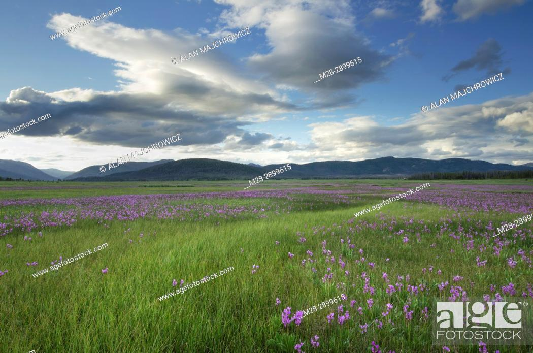 Stock Photo: Shooting Star (Dodecatheon conjugens) wildflowers blooming in Elk Meadows, Salmon-Challis National Forest Idaho.