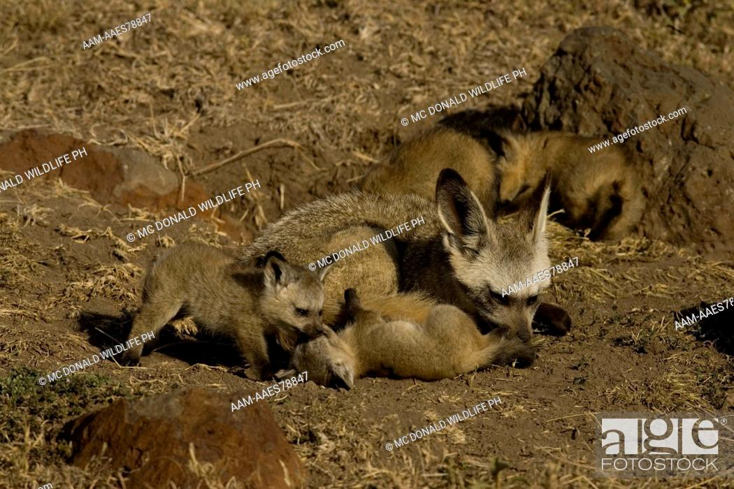Stock Photo: Bat-eared Fox Family (Otocyon megalotis) 11/30/2005, young playing with a tolerant adult at the den in the Masai Mara Game Reserve, Kenya.