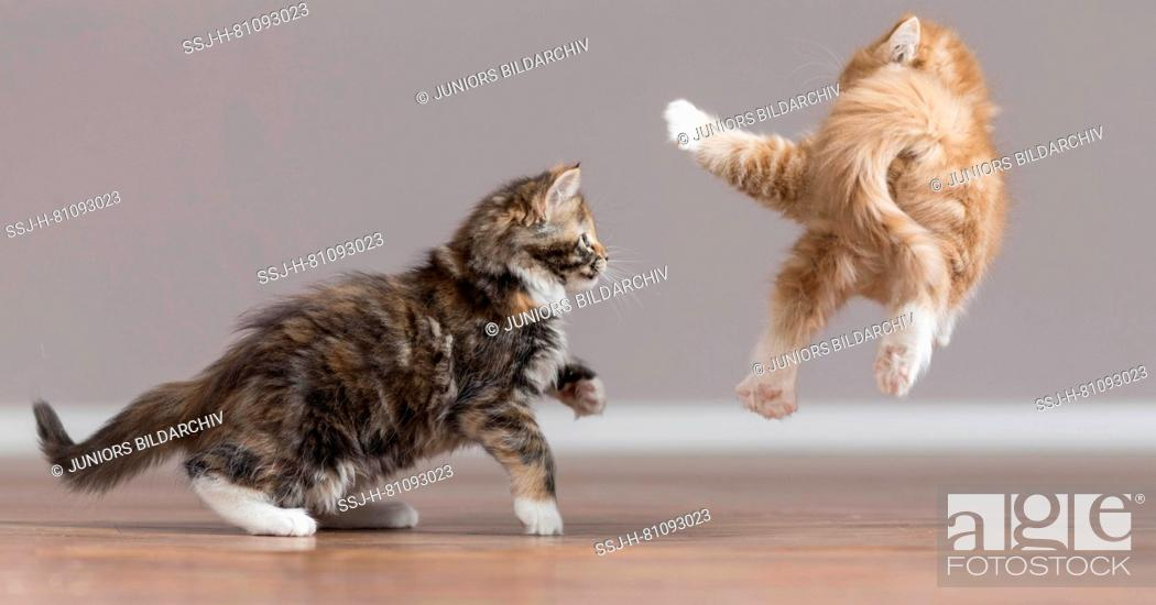 Stock Photo: Maine Coon. American Longhair. Two kittens playing on parquet. Germany.