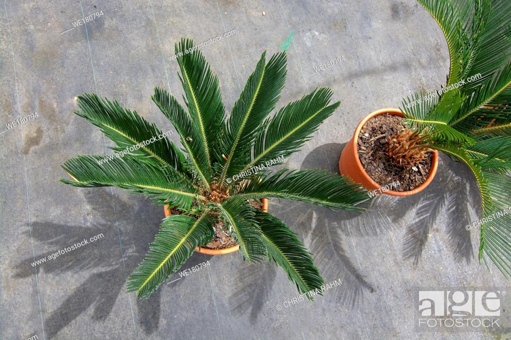 Stock Photo: Endemic palm tree in pot from above in Mallorca, Spain.