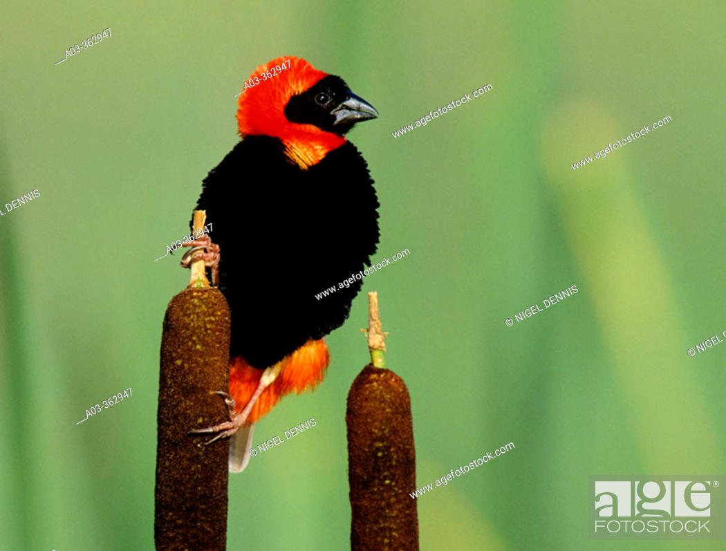 Stock Photo: Red Bishop (Euplectes orix). KwaZulu-Natal, South Africa.