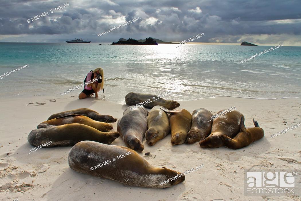 Stock Photo: Galapagos sea lion pup Zalophus wollebaeki with photographer CT Ticknor on Gardner beach on Santiago Island in the Galapagos Island Archipelago.