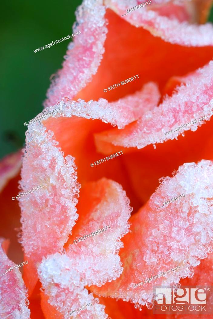 Stock Photo: Miniature Tea Rose flower in frost, Wales.