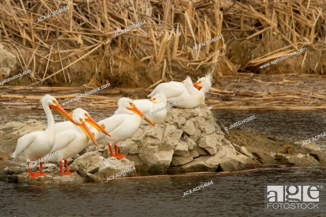 Stock Photo: American White Pelican, Pelecanus erythrorhynchos, Washington, USA.