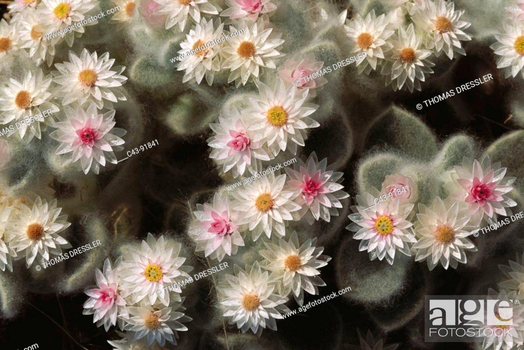 Stock Photo: Namibian Edelweiss (Helichrysum rosio-niveum). Damaraland, Namibia.