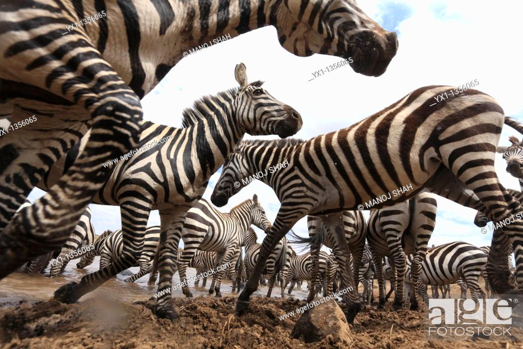 Stock Photo: Each Zebra has a unique stripe pattern. A young Zebra can thus easily identify its mother.