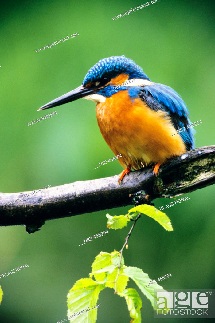 Stock Photo: Kingfisher (Alcedo atthis) male at the hunt.