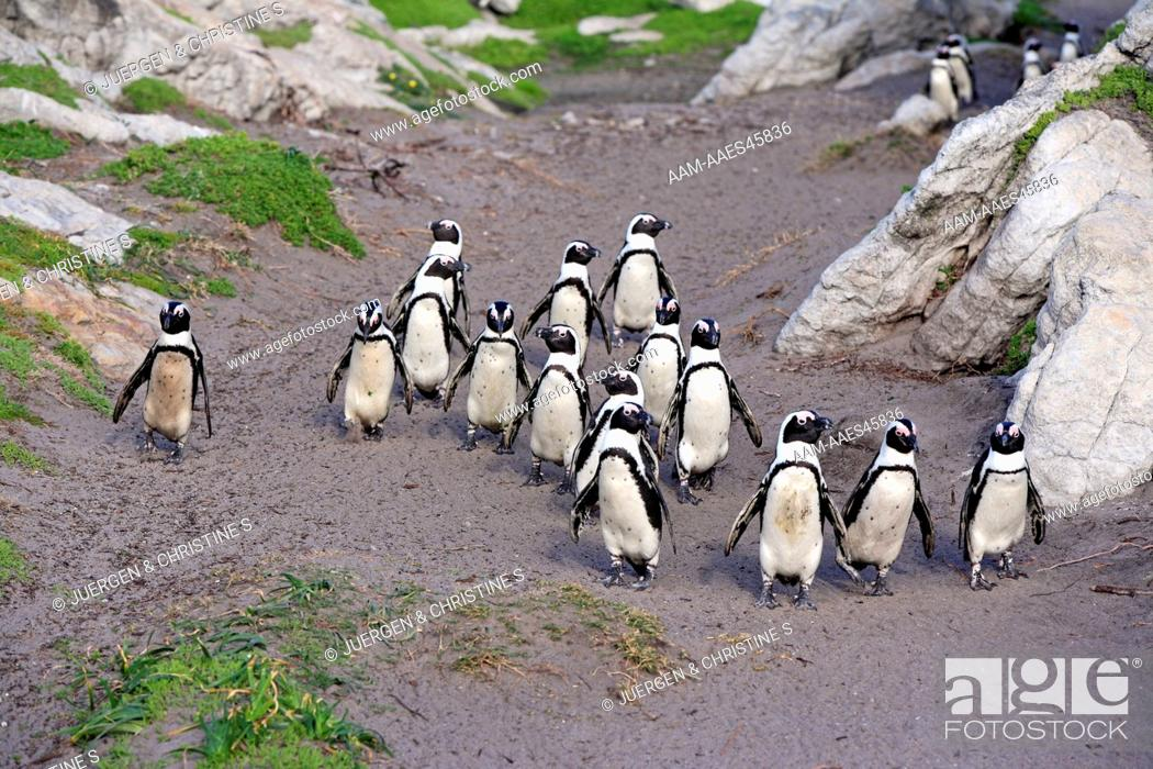 Stock Photo: Jackass Penguin, Spheniscus demersus, Betty's Bay, South Africa, group of adults walking on beach.