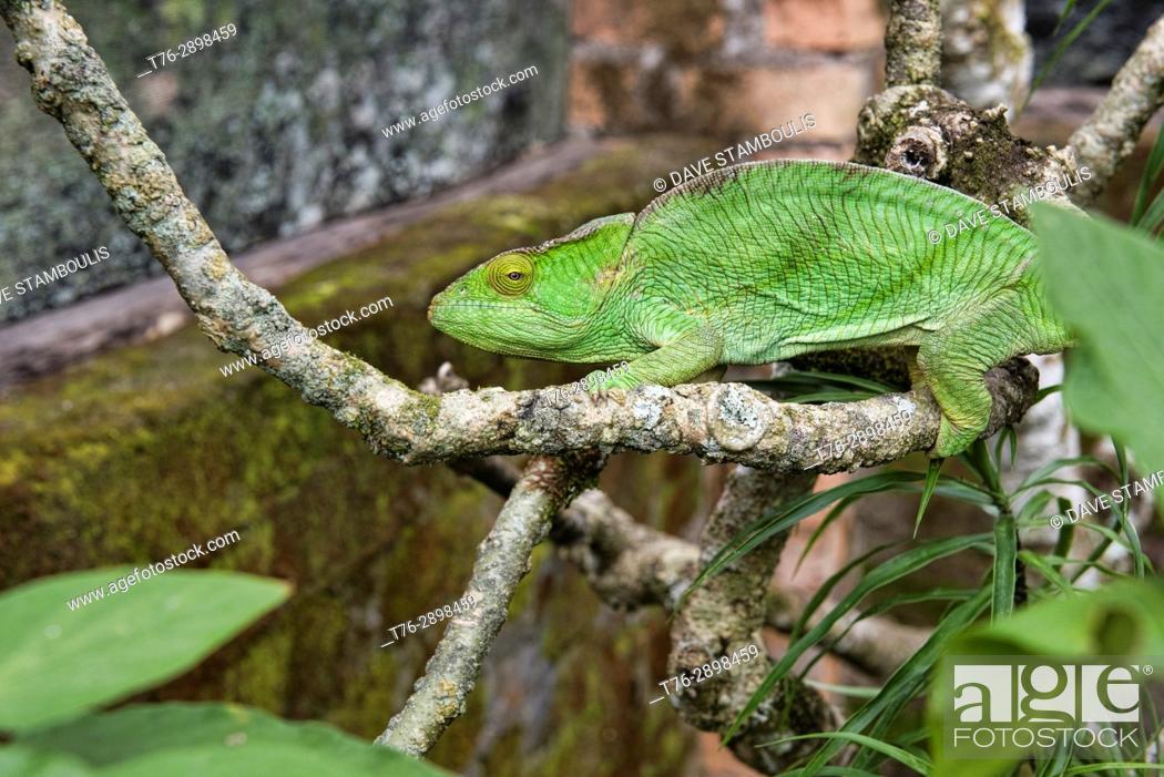 Stock Photo: Colourful Parson's chameleon (Calumma parsoni), Ranomafana, Madagascar.