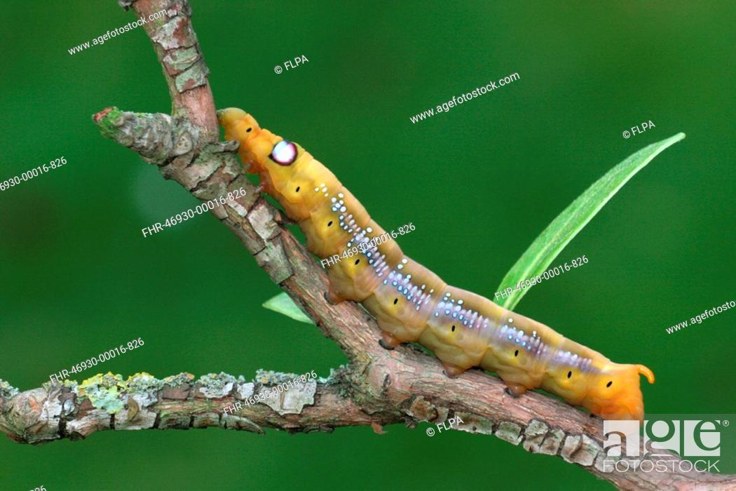 Stock Photo: Oleander Hawkmoth Daphnis nerii caterpillar, on oleander twig, Italy, october.