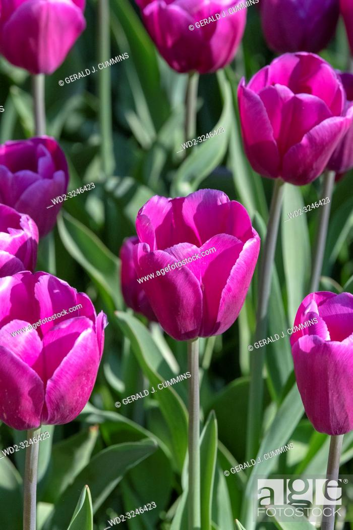 Stock Photo: Solid coloured Tulips plants. Spring blooming perennial herbaceous flower. Exist in a multitude of colours, Popular as cut flowers.