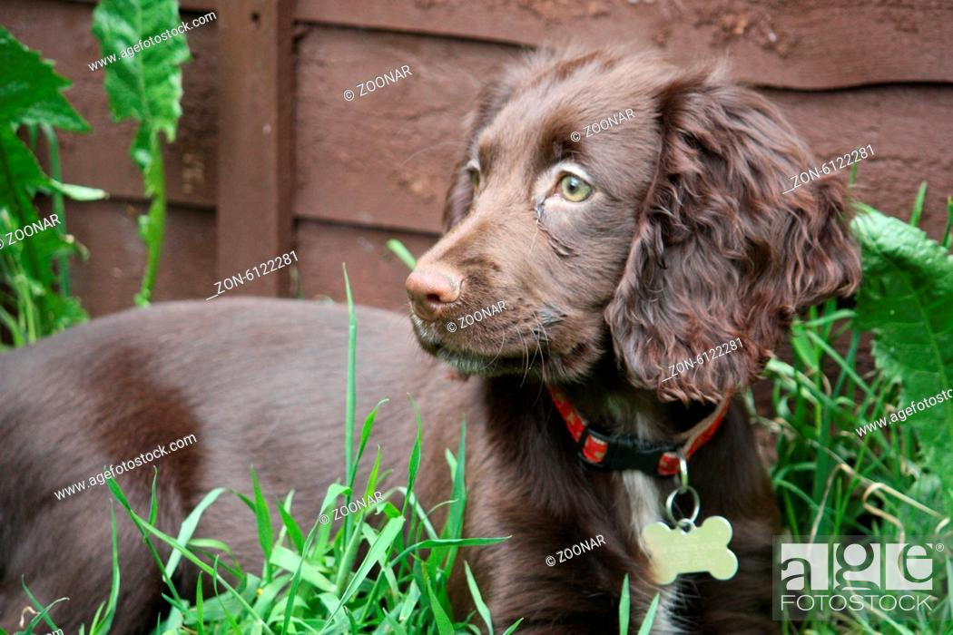 Cute Young Brown Working Type Cocker Spaniel Puppy Stock Photo Picture And Rights Managed Image Pic Zon 6122281 Agefotostock