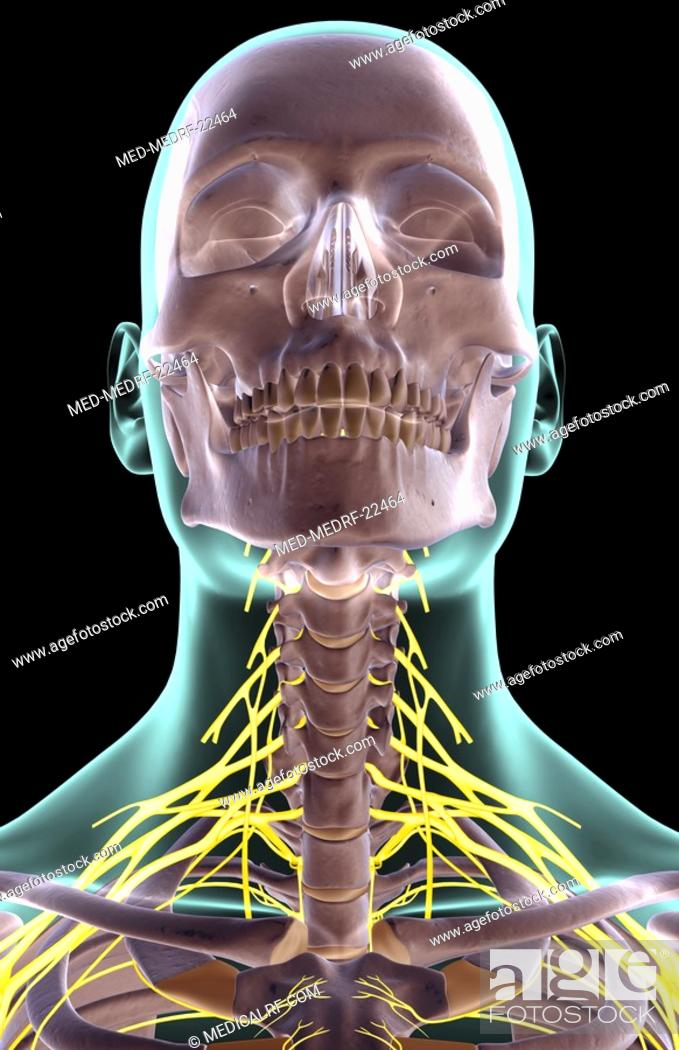 Stock Photo: The nerves of the neck.