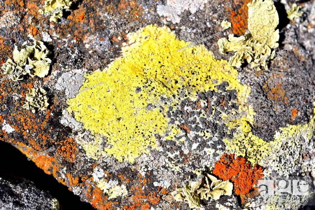 Stock Photo: Acarospora hilaris is a yellow crustose lichen growing on volcanic rock. This photo was taken in Lanzarote Island, Canary Islands, Spain.