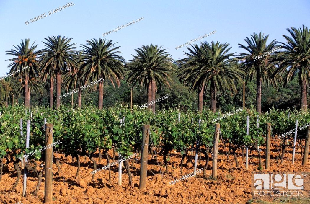 Stock Photo: France, Var, near La Londe des Maures, Wineyard, AOC guarantee of quality Cote de Provence and palm trees.