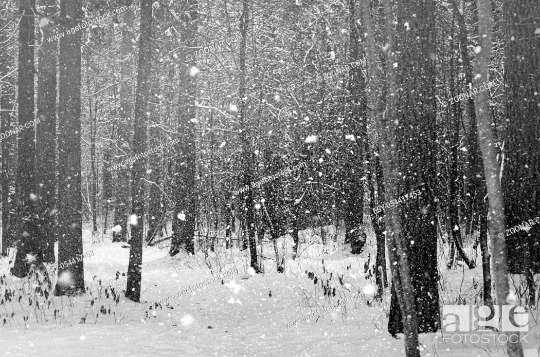 Stock Photo: The trees in winter forest close up.