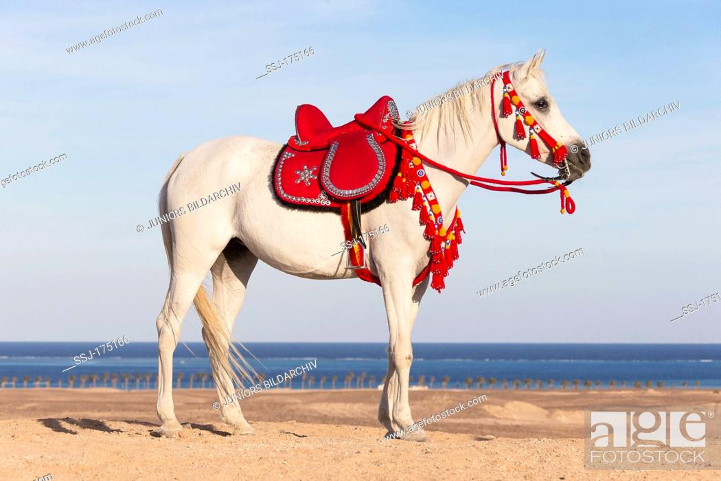 Purebred Arabian Horse Gray Mare With Traditional Saddle And Tack Standing On A Beach Foto De Stock Imagen Derechos Protegidos Pic Ssj 175166 Agefotostock