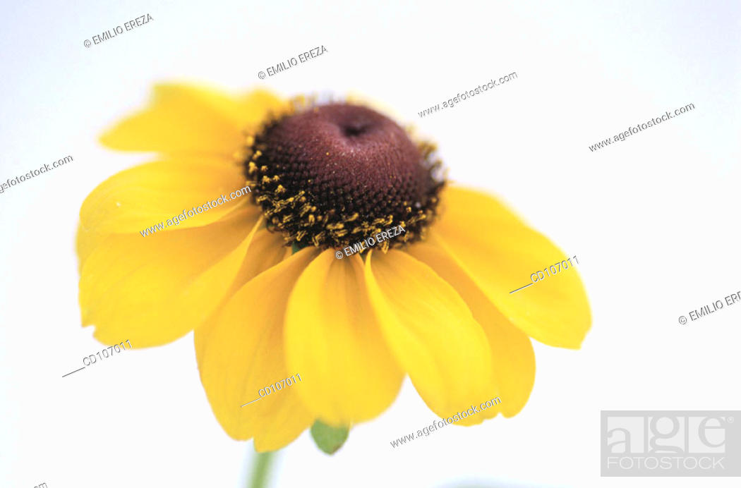 Stock Photo: Rudbeckia hybr.