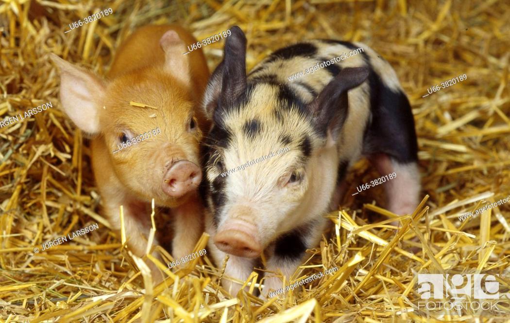 Stock Photo: Pigs Katrineholm Sweden Sverige.