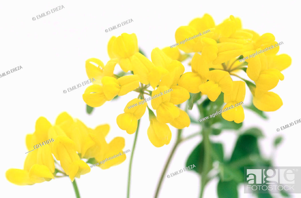 Stock Photo: Coronilla (Coronilla glauca).