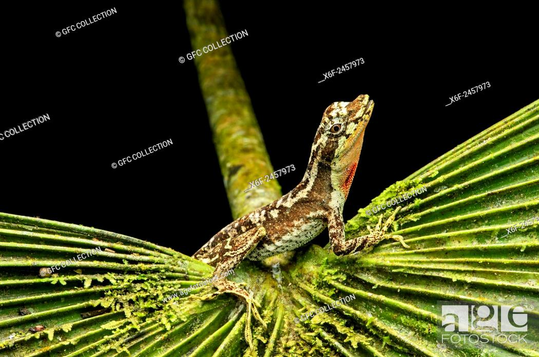 Photo de stock: Male Anole lizard (Anolis lyra), Iguana family (Iguanidae), Chocó rainforest, Ecuador.
