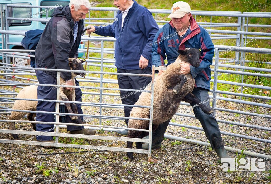 Imagen: Sheep handlers farmers holding sheep during judging at North Harris Agricultural Show, Tarbert, Isle of Harris, Outer Hebrides, Scotland.