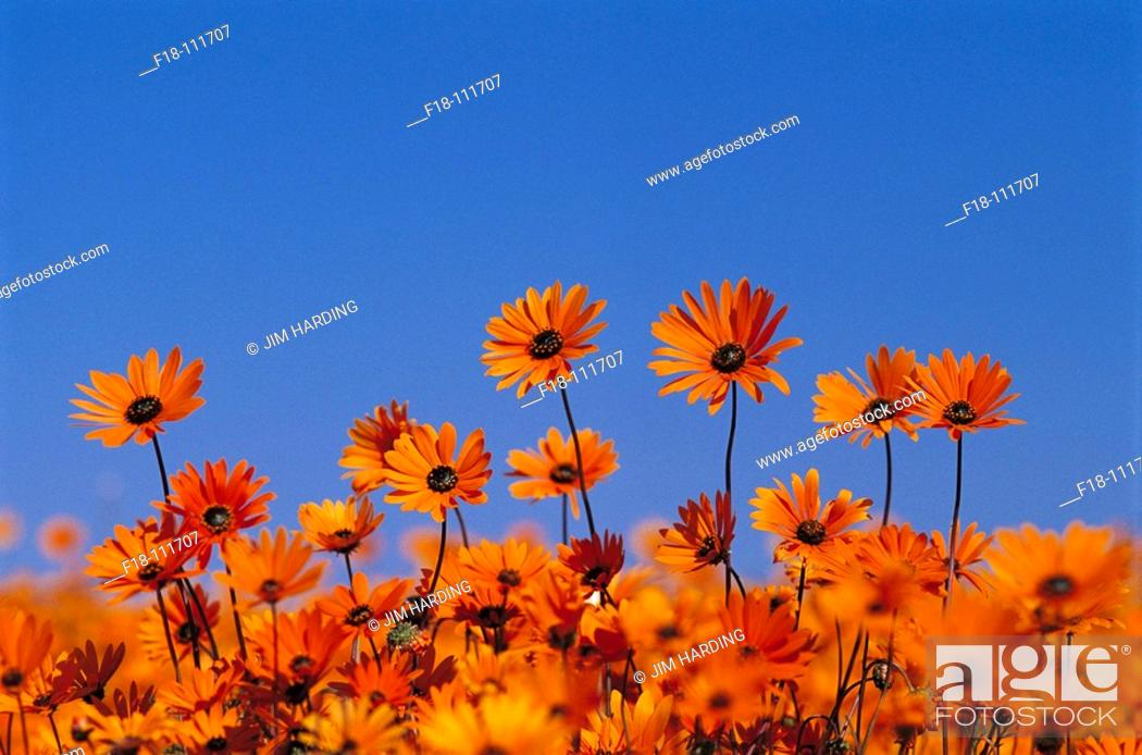 Stock Photo: Cape Marigolds (Dimorphotheca sinuata), Skilpad wildflower reserve near Kamieskroon. Northern Cape, South Africa.