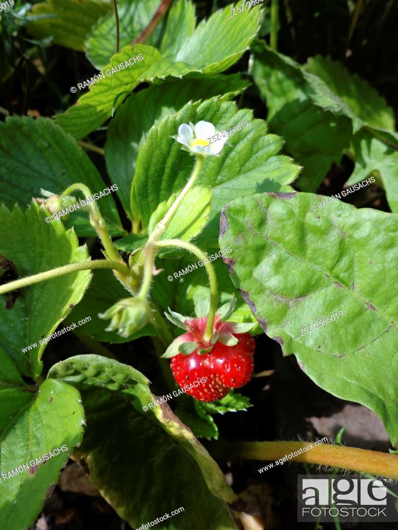 Stock Photo: Strawberry (Fragaria vesca). Catalonia, Spain.
