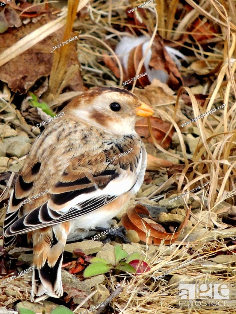 Stock Photo: A close-up of a snow bunting, Plectrophenax nivalis, on the ground, Pennsylvania, USA.