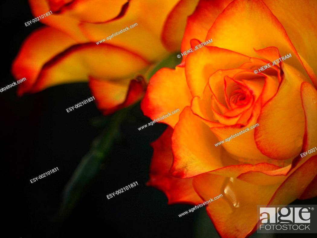 Stock Photo: Rose with raindrop.