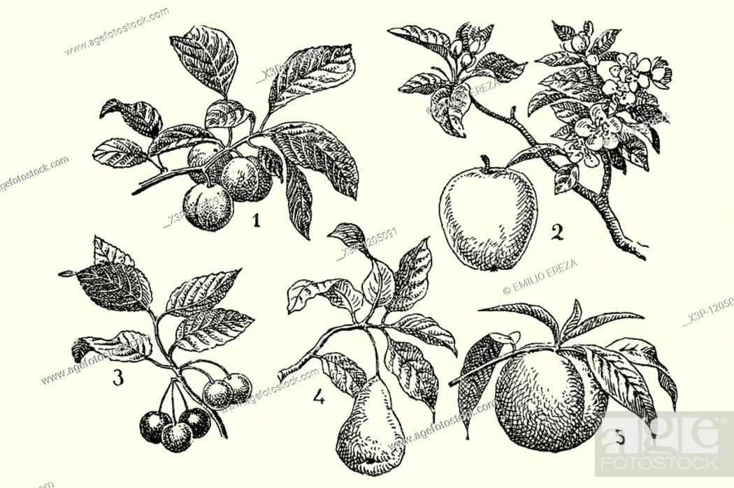 Stock Photo: Assorted fruits, plums, apples, cherries, pears and peach  Antique illustration  1900.