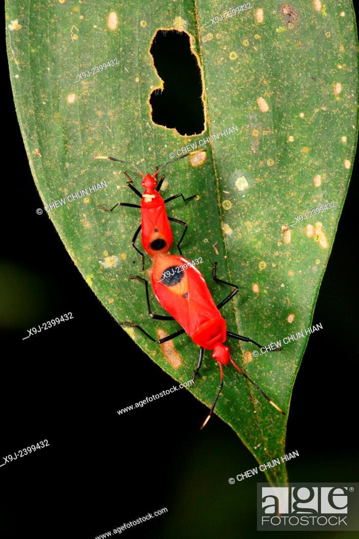 Stock Photo: Boxelder Bug, true bug, matting, borneo.